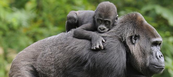 Cheque Voor Gorilla Onderzoek Apenheul