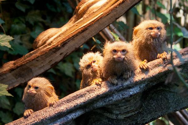 Pygmee Oeistiti Apenheul